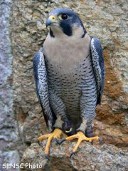I didn't take pictures so have to use the googe. Photo is from http://nhnature.blogspot.com/2010/04/peregrine-falcon-and-osprey-webcams.html