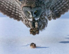 Again had to go to google, this is a different type of owl, but very impressive. Photo is from http://blog.membracidmedia.com